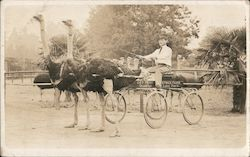 Two Ostrich Pulling a Four Wheel Buggy - Ostrich Farm Postcard