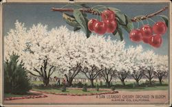 A San Leandro Cherry Orchard in bloom. Alameda Co. Postcard