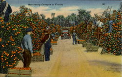 Harvesting Oranges In Florida