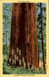 Boy Scout Tree, Redwood Highway