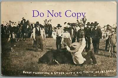 BILL PICKETT THROWING A STEER WITH HIS TEETH AT 101 RANCH - 1912 RPPC POSTCARD