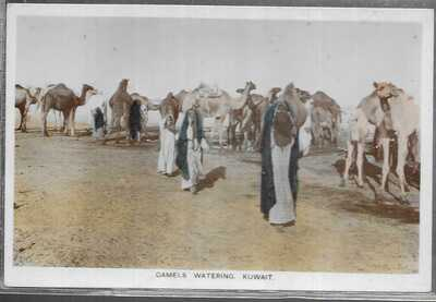 Camels Watering Kuwait - Old Unposted Real Photo Postcard
