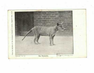 Australia Postcard,   THE THYLACINE