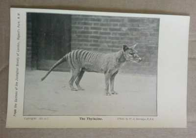 Australia Postcard,   THE THYLACINE Tasmanian Tiger nearly MINT condition