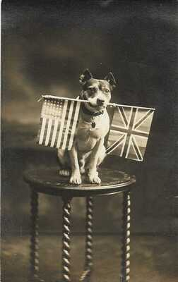 Pit Bull RPPC Dog ON Table Top With US And British Flag In Mouth