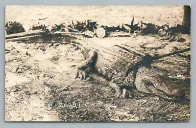 Tied & Bound Alligator ST. CLOUD Florida RPPC Antique Animal Zoo Photo 1911