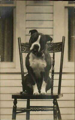 Cute Sweet Pitbull Terrier Posing on Chair DANBY VT Cancel c1910 RPPC