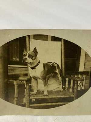 "PIT BULL DOG EARLY 1900s RPPC REAL PHOTO POSTCARD ""BERT"" American Terrier"