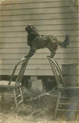 1908 Dog Doing Circus Trick on Chairs, Verdi, Minnesota Real Photo Postcard/RPPC