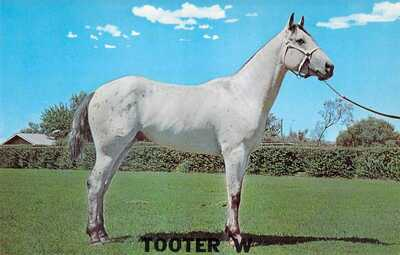 TX Vernon Appaloosa STALLION - TOOTER W - Stud advertising Horse postcard