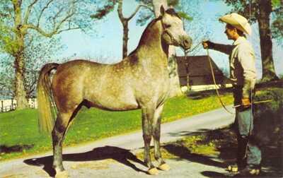 ARABIAN Stallion Horse - CHAMPION FADKI - Stud Advertising Lexington KY postcard